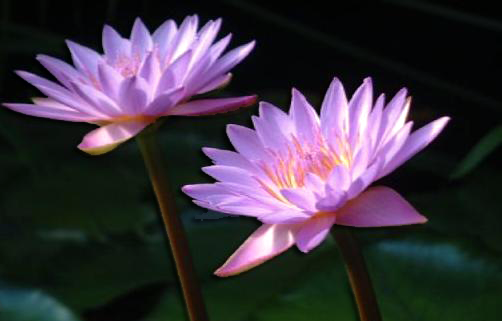 Two open lotus flowers