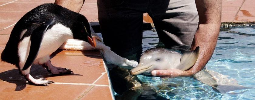 10 day old dolphin says hi to a baby penguin