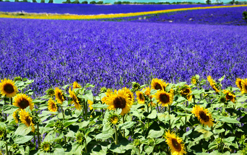 Lavender-field_sm